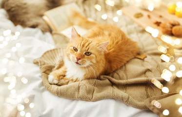 Fototapete - pets, hygge and domestic animal concept - red tabby cat lying on blanket at home in autumn