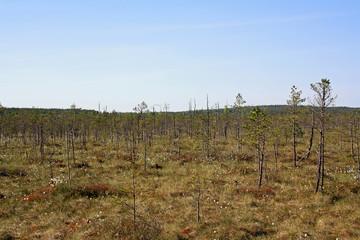 Bog in Berezinsky nature reserve