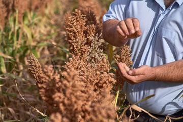 Farmer examining ripe proso millet Panicum miliaceum , close up of hand