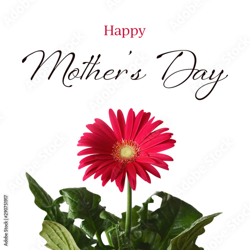 Mothers Day card. Gerbera daisy isolated on white background