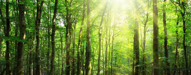 Fototapeta Sunlight in the green forest. Summer background.