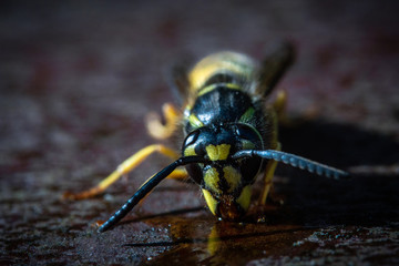 A super macro photograph of a wasp feeding on a puddle of sticky honey on a summer evening on a rusty metal textured background