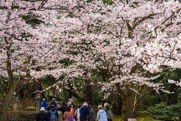 金沢の春 兼六園でお花見