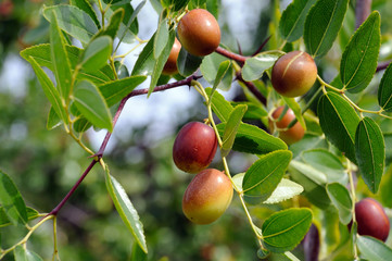 jujube fruits on a tree on a background of green leaves