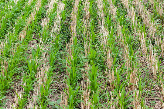 Sudangrass and tillage radish cover crops growing in wheat stubble.