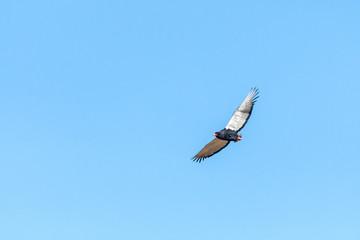 Bateleur eagle, Terathopius ecaudatus, flying