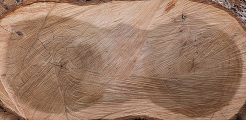 texture cross section of elm tree