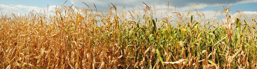 dry corn field panorama witj clouds