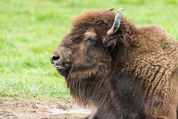 Fototapeta Portrait de bison