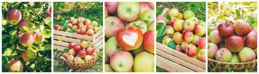Collage of photos apple garden. Selective focus.