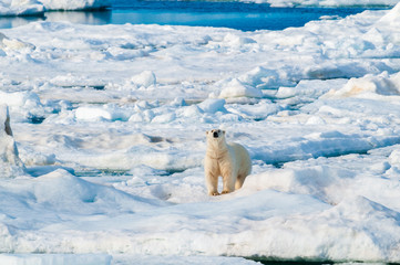 Fond de hotte en verre imprimé Ours Blanc Large polar bear walking on the ice pack in the Arctic Circle, Barentsoya, Svalbard, Norway