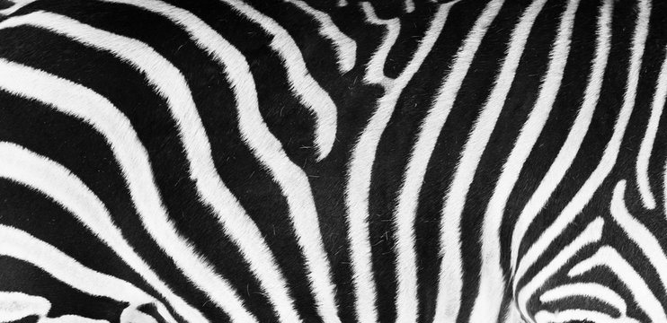 Natural texture of the zebra skin. Natural black and white striped pattern.