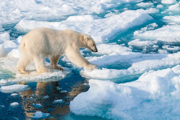 Tuinposter Ijsbeer Large polar bear walking on the ice pack in the Arctic Circle, Barentsoya, Svalbard, Norway
