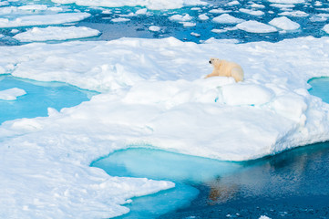 Large polar bear sitting on the ice pack in the Arctic Circle, Barentsoya, Svalbard, Norway