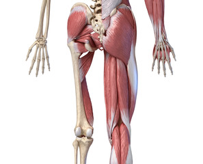 Human male anatomy, limbs and hip muscular and skeletal systems, back view.