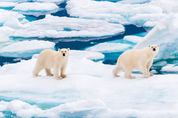 Polar bear cubs walking on the ice pack in the Arctic Circle, Barentsoya, Svalbard, Norway