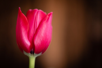 Bloom of beautiful single red tulip flower in front of a blurred brown background.