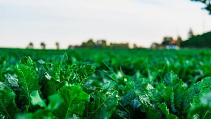 Green lettuce, salad, in vegetable plot. Field of salad. Harvest concept.
