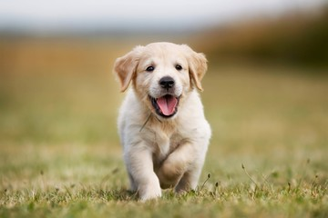 golden retriever on green grass