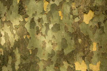 Texture of the bark of the Platanus tree. Fototapete