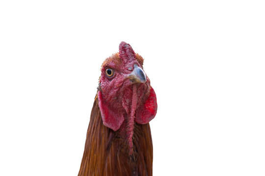 gamecock head is staring on white background.