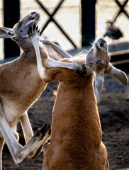 Two Kangaroos play boxing, locked in an embrace at sunset.
