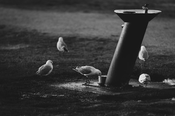 Several seagulls are drinking near a drinking fountain in a public park  in black and white