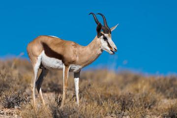 Poster Antelope Springbok, Antidorcas marsupialis, Afrique du Sud