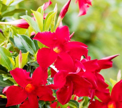 Mandevilla or dipladenia sanderi - Cultivar Dipladenia with red petals and yellowish throat