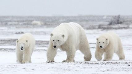 family of polar bears in arctic