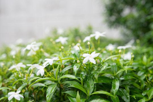 Gardenia jasminoides in garden. beautiful flower background
