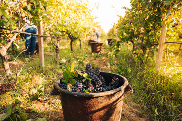 Fond de hotte en verre imprimé Vignoble PUGLIA / ITALY - SEPTEMBER 2019: Seasonal harvesting of Primitivo grapes in the vineyard