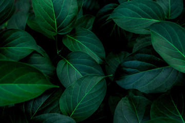 Fotomurales - tropical leaves texture, abstract green leaves and dark tone process, nature pattern background