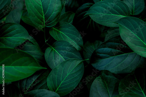 Wall mural tropical leaves texture, abstract green leaves and dark tone process, nature pattern background