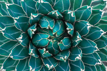 Wall Mural - closeup agave cactus, abstract natural pattern background and textures, dark blue toned