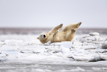 Poster Ijsbeer Polar Bear Cub, Kaktovik, Alaska, USA