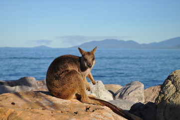 Allied Rock Wallaby, Petrogale assimilis.  Wild wallaby on the breakwater at Nelly Bay, Magnetic Island, Queensland, Australia.