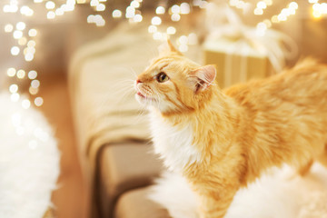 Fototapete - pets, christmas and hygge concept - red tabby cat on sofa with present at home in winter