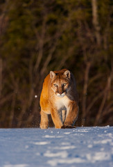 Cougar (Puma concolor), also commonly known as the mountain lion, puma, panther, or catamount
