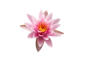 Fotorolgordijn Lotusbloem Sweet colorful of pink lotus flower with yellow pollen is beautiful nature, On white isolated backgorund, to object cocnept.