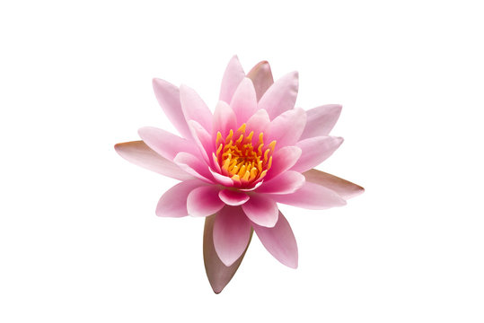 Sweet colorful of pink lotus flower with yellow pollen is beautiful nature, On white isolated backgorund, to object cocnept.