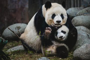 Acrylic Prints Panda Giant Panda