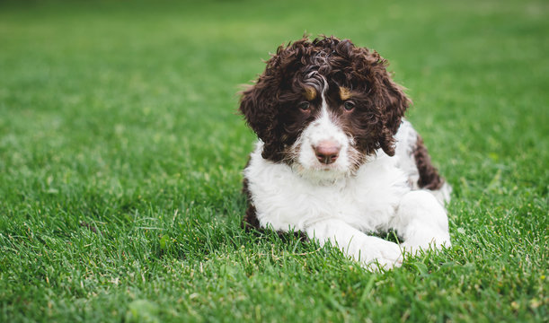 Adorable bernedoodle puppy laying on the grass outside.