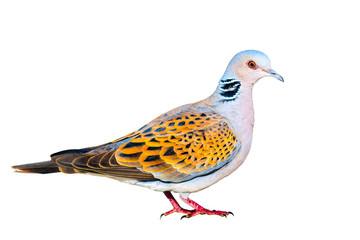 Turtle Dove. Isolated Dove. White background. Colorful feathers. Bird:  European Turtle Dove. Streptopelia turtur.