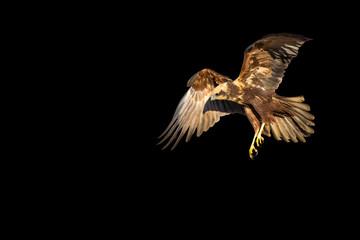 Flying bird of prey. Isolated hawk. Black background. Bird: Western Marsh Harrier. Circus aeruginosus Wall mural