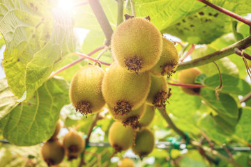 Fresh kiwi fruit on tree growing