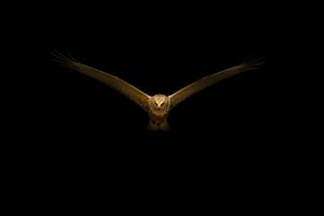 Art in Nature Photography. Spot light and Bird. Black background. Bird: Western Marsh Harrier. Circus aeruginosus.