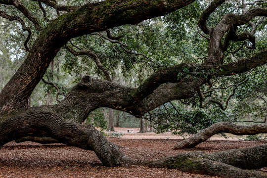 Angel Oak tree on Johns Island near Charleston, South Carolina is 500 years old.