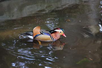 池で泳ぐオシドリの雄の写真 野鳥