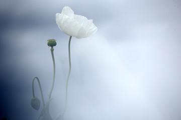 field of white poppies, also called opium. Papaver somniferum